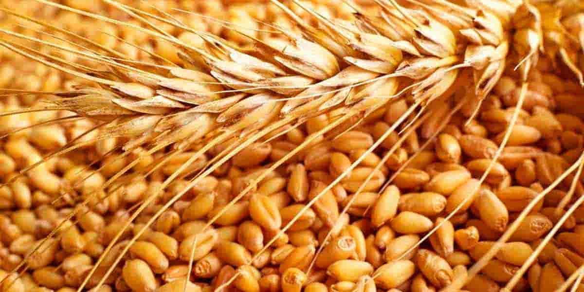 ВНИИМЗ: Элитные сорта зерновых культур
